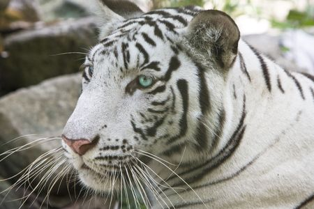 Portrait of a white tiger Stock Photo - 5952254