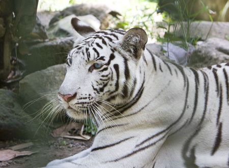 Portrait of a white tiger Stock Photo - 5952252