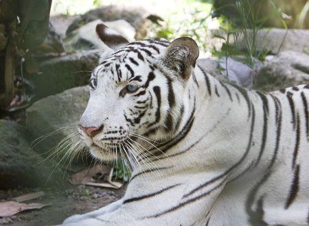 Portrait of a white tiger Stock Photo - 5952252