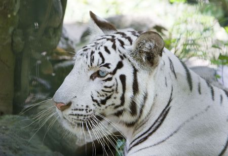 Portrait of a white tiger