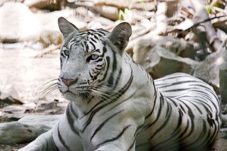 Portrait of a white tiger Stock Photo - 5988264
