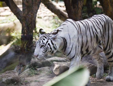 Portrait of a white tiger Stock Photo - 5988288