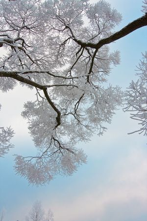 Snow-covered branches of tree on sky background photo