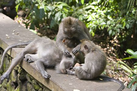 macaque: Long-tailed macaque