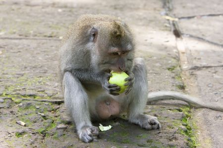 champs: Long-tailed macaque champs apple