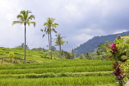 Kind on rice terraces, Bali, Indonesia photo