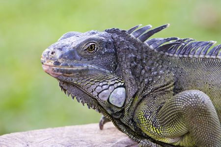 Big Iguana on a tree branch Stock Photo - 6133829