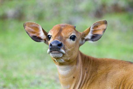moles: The calf