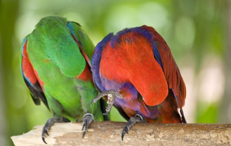 the two parrots: Two parrots scratch wing with beak, focus on right parrot
