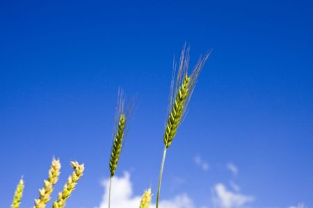 Ears of wheat on sky background photo