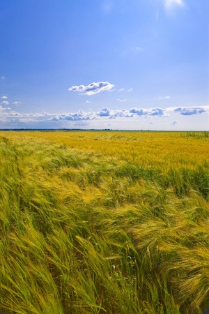 barley head: Field of wheat under azure sky   Stock Photo