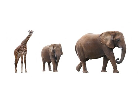 Elephant cow with baby elephant and giraffes on white background   photo