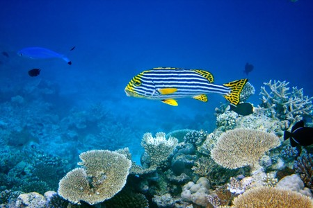 platax: Indian ocean.  Fishes in corals  Stock Photo