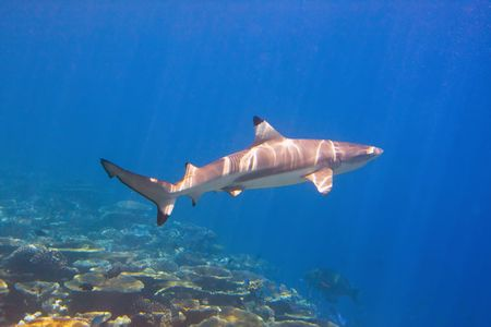 Shark swimming above coral reef photo