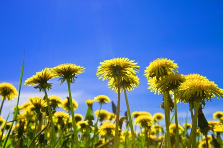 Yellow dandelions in the meadow clear solar summers day photo