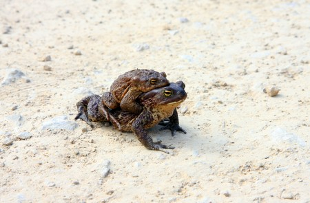 Two  brown frogs (rana temporaria) in the mating season photo