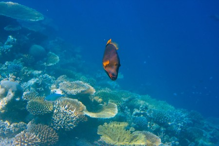 platax: Fishes in corals. Maldives