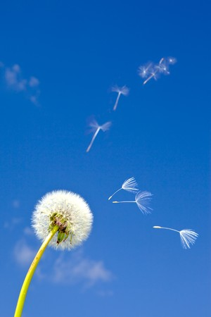 Dandelion and flying away fuzzes