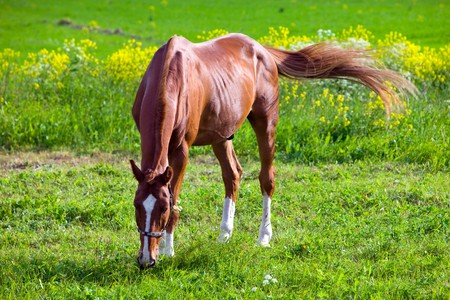 are grazed: Bay horse on a meadow in a bright sunny day