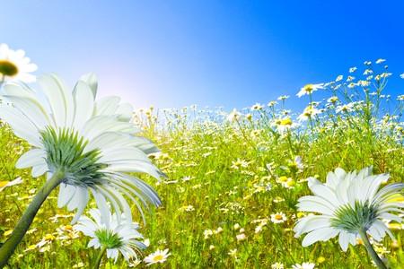 daisy field: Field of camomiles and the dark blue sky Stock Photo