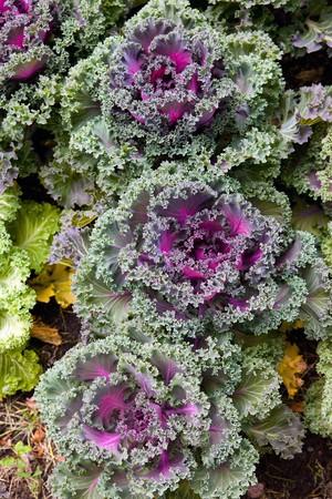 Decorative coloured cabbage photo