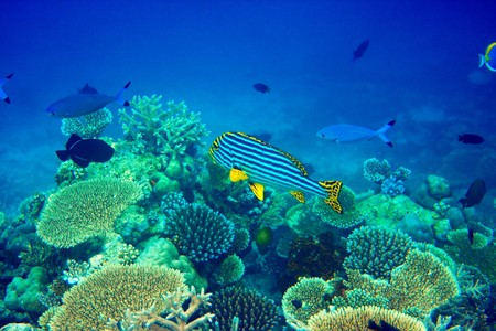 Indian ocean.  Fishes in corals. Maldives   photo