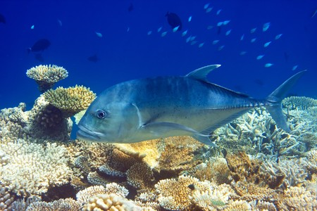 platax: Indian ocean.  Fishes in corals. Maldives