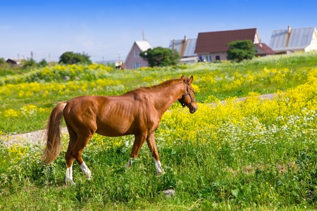 Bay horse on a meadow in a bright sunny day photo