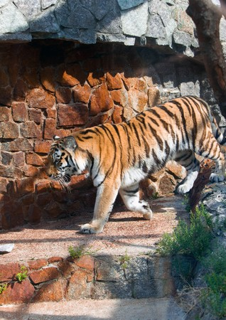 The tiger going on an open-air cage