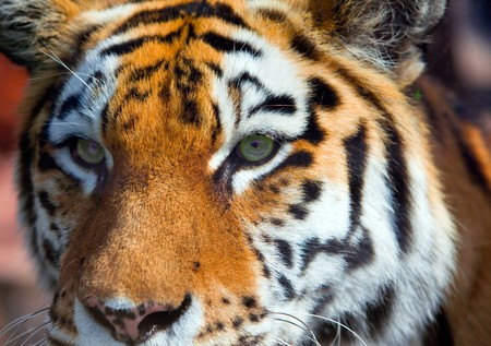 Portrait of  tiger Stock Photo - 8208960