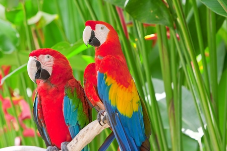 bright large tropical parrots sit on a branch  photo