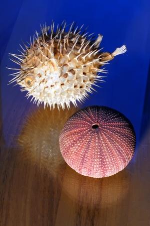 pez globo: Seco el Blowfish y un erizo de mar.     Foto de archivo