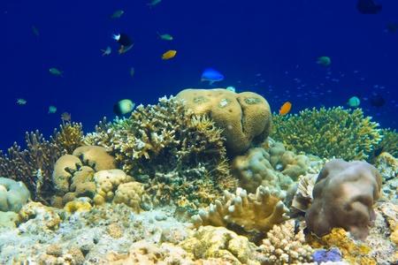 Underwater world. Fishes in corals.   photo
