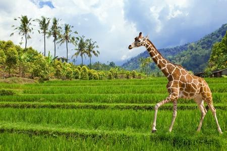 La jirafa va sobre una hierba verde contra montañas Foto de archivo
