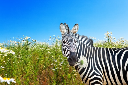 Zebra with a camomile in a mouth on a blossoming meadow photo