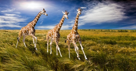 Three giraffes run on the field