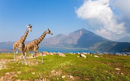 Two giraffe in savannah on background of mountains