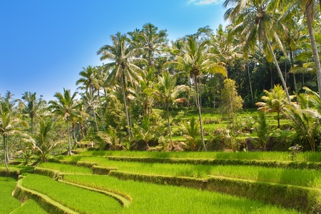 View on rice terraces, Bali, Indonesia   photo