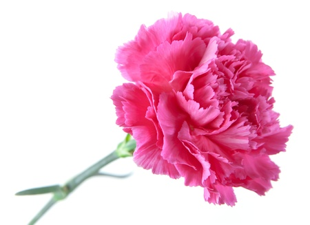 carnation on a white background photo