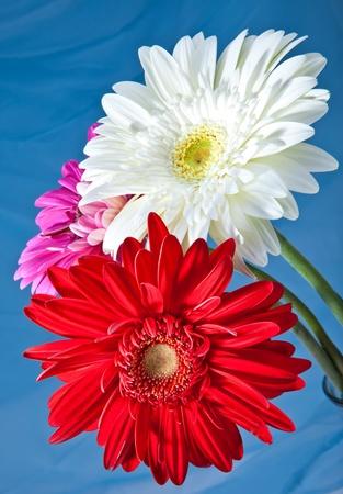 Trois fleurs aux couleurs vives. Gerbera
