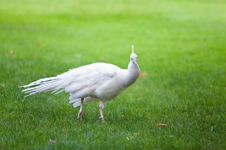 White peacock among green  photo