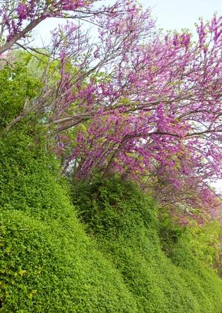 laevigata: Trees with pink flowers- Crataegus laevigata Pauls Scarlet