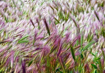 Bright magenta and green ears of cereals photo