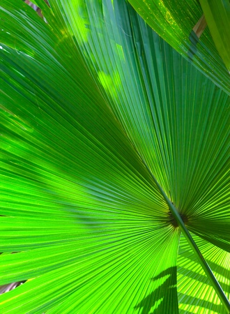 Leaf of a fan palm tree photo