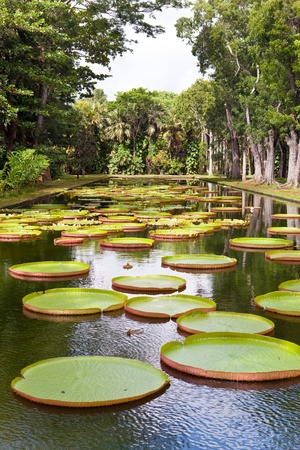 The lake in park with Victoria amazonica, Victoria regia.