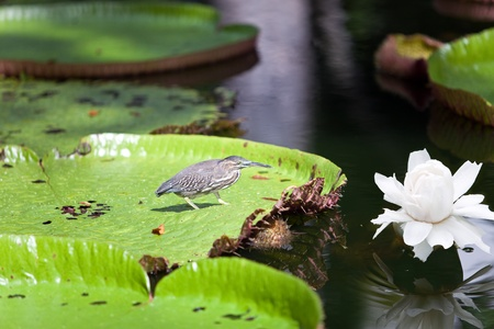Bird on a leaf Victoria amazonica ( Victoria regia)