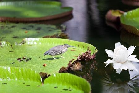 rio amazonas: P�jaro en una hoja de Victoria amazonica (Victoria regia)