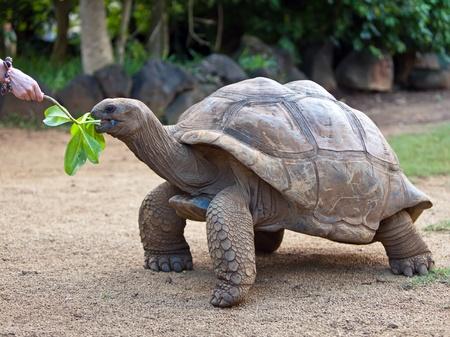 Big Seychelles turtle eat.  La Vanille Reserve park. Mauritius.