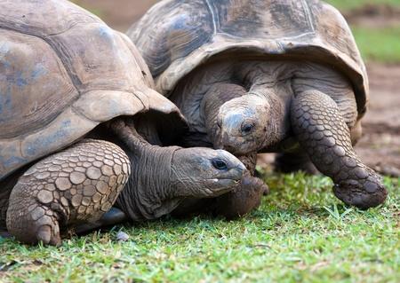 tortuga: Gran tortuga de Seychelles en La Vanille Parque de la Reserva. Mauricio. Foto de archivo