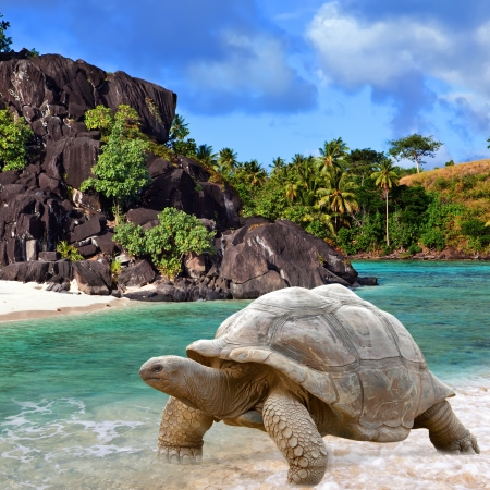 Large turtle (Megalochelys gigantea) at the sea edge on background of a tropical landscape. Stok Fotoğraf